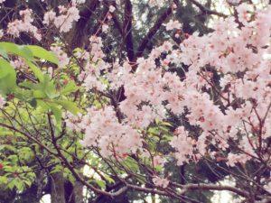 blog用 桜